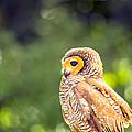 Spotted Owl by Jijo George