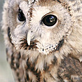 Spotted Owl by Shoal Hollingsworth
