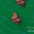 Spotted Rays  by Davids Digits