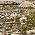 Spotted Sandpiper Pictures 36 by World Wildlife Photography