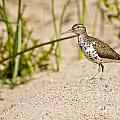 Spotted Sandpiper Pictures 45 by World Wildlife Photography