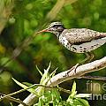 Spotted Sandpiper Pictures 48 by World Wildlife Photography