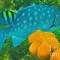 Spotted Surgeon Fish by John Malone