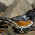 Spotted Towhee by Anthony Mercieca