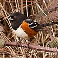 Spotted Towhee by James Adams