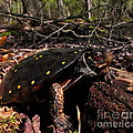Spotted Turtle by Joshua Bales