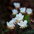Spotted Wintergreen 4 by Douglas Barnett