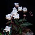 Spotted Wintergreen 5 by Douglas Barnett