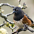 Spottet Towhee With Attitude by Inge Riis McDonald