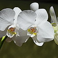 Spray Of Beautiful White Orchids by Carla Parris