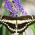 Spread Your Wings My Little Butterfly  by Saija  Lehtonen