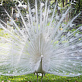 Spreading Peacock Display by Kenneth Albin
