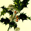 Sprig Of Holly With Berries And Flowers Vintage Poster by R Muirhead Art