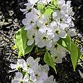 Spring Apple Blossoms by LeeAnn McLaneGoetz McLaneGoetzStudioLLCcom