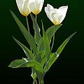 Spring - Backlit White Tulips by Susan Savad