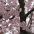 Spring Beauty by Stephanie Hanson