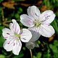 Spring Beauty Wildflowers - Claytonia Virginica by Mother Nature
