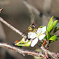 Spring Bee On Apple Tree Blossom by Ryan Crouse