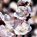 Spring Bloom 3 by Tomasz Dziubinski