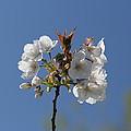Spring Bloom by Karen Silvestri