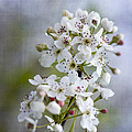 Spring Blooming Bradford Pear Blossoms by Kathy Clark
