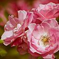 Spring Roses by Zina Zinchik
