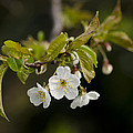 Spring Blossom by Spikey Mouse Photography