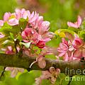 Spring Blossom by Lori Sulger