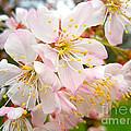 Spring Blossom by Nina Ficur Feenan