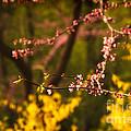 Spring Blossoms I by Mary  Smyth