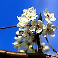 Spring Blossoms by Sennie Pierson