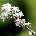 Spring Blossoms White 031015aa by Edward Dobosh