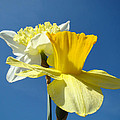 Spring Blue Sky Yellow Daffodil Flowers Art Prints by Baslee Troutman