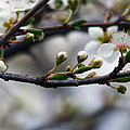 Spring Buds by Marius Mitea