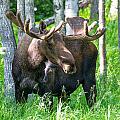 Spring Bull Moose by Sam Amato