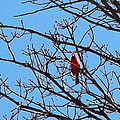 Spring Cardinal by Stephan Toman