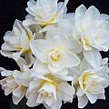 Spring Cheer Daffodil 2 by Douglas Barnett