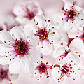 Spring Cherry Blossom by Elena Elisseeva