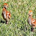 Spring Chicks  by Carol Groenen