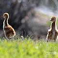Spring Chicks In The Sunshine by Carol Groenen