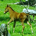 Spring Colt  by Jeff Swan