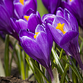 Spring Crocus Bloom by Adam Romanowicz