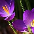 Spring Crocus Pair  by Neal Eslinger