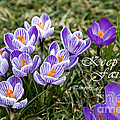 Spring Crocus With Scripture by Jill Lang