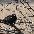 European Starling by Jayne Gohr