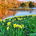 Spring Daffodils At Laurel Ridge-connecticut  by Expressive Landscapes Fine Art Photography by Thom