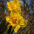 Spring Daffodils  by Brian Roscorla