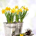 Spring Daffodils by Amanda Elwell