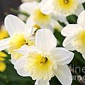 Spring Daffodils by Elena Elisseeva