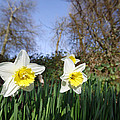 Spring Daffodils by Steve Ball